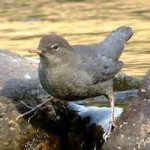 Ouzel: The American Dipper