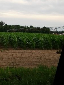 July Field Corn