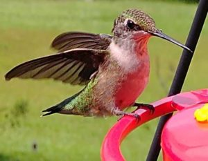 Hummingbird at the  usual kind of feeder Hummingbird at the  usual kind of feeder